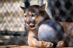 Anyone want to see a show?  Trinity cougar is a real showman.  Whenever she has an audience, she goes for her ball and bats it around in an expert display of agility. Photographed by Terrence Robertson-Fall at Shambala Preserve.