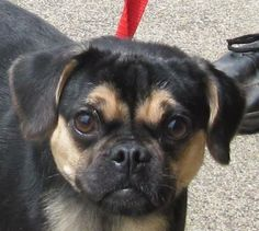 PLEASE RESCUE/SPONSOR/ADOPT THIS CUTE LITTE GUY WIGGLES!!!! CANTON, OHIO...Meet 53  Wiggles a Petfinder adoptable Pug Dog | Canton, OH | Owner surrender.  Available for immediate adoption.   $ 86.00 fee includes OH license, DA2PP,...