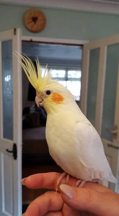 LOST COCKATIEL: 08/09/2016 - Bloxwich, Walsall, West Midlands, England, United Kingdom. Ref#: L26276 - #ParrotAlert #LostBird #LostParrot #MissingBird #MissingParrot #LostCockatiel #MissingCockatiel