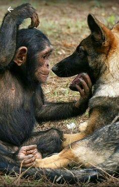 Chimp & German Shepherd... #germanshepherd