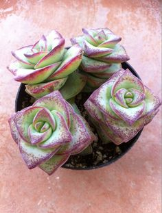 The Crassula Perforata String of Buttons is native to South Africa. Hardy to around 20-25 F  You will receive a succulent from a 3-1/2 inch pot