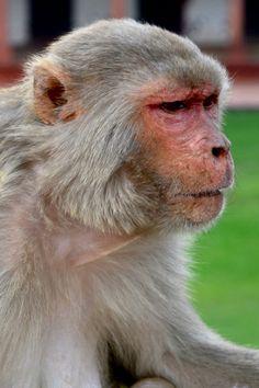 Concerned monkey Ape Monkey, Monkey Art, Monkey King, Save Animals, Animals And Pets, Funny Animals, Chimpanzee, Orangutan, Primates