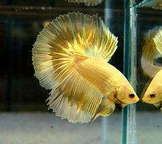 Gorgeous! Metallic Gold Butterfly Halfmoon Male Betta