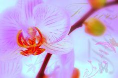 Orchidea - plakat