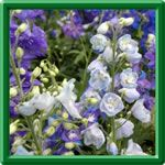 Deadheading your Perennial Plants - a fact sheet by plant name on how to deadhead your perennials and most important, if they will rebloom in the same season if you do!  Dundee Nursery