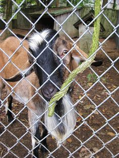 blurry visions from a moving vehicle: We Visited Smiling Hill Farm in Portland, ME today. Here are my favorite pics. Everest the Goat