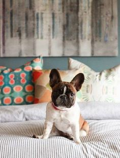 Not all dogs are the same - seriously how cute is this french bulldog - I need one in my life