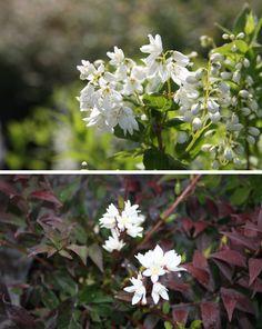 DEUTZIA gracilis Plants, Plant, Planting, Planets