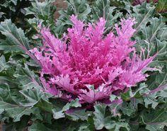 Flores de Brassica oleracea.