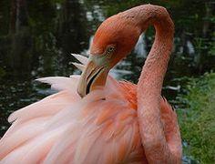 Flamingo Photographs - Flamingo Feathers  by Amanda Vouglas