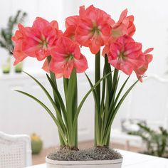 Even though amaryllis is popular during the holidays, the color of this Amaryllis 'Vera' makes me think of Spring!