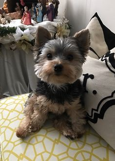 Choppy Teacup Puppies, Cute Puppies, Yorkie Hairstyles, Animals And Pets, Cute Animals, Dog Haircuts, Golden Puppy, Dog Rules, Kittens