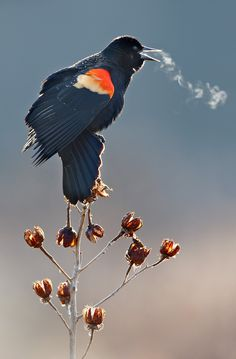 Redwinged black bird  -  so cold you can see his song!