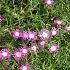 If you love the way Ice Plants cover those dry patches in the garden, fills driveway borders, and adds color to planters, you will be delighted with Starburst!