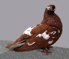 When it comes to creating 'fancy' breeds of domestic animals, humans can get a little, uh, eccentric. That's definitely the case with these surprising pigeons!