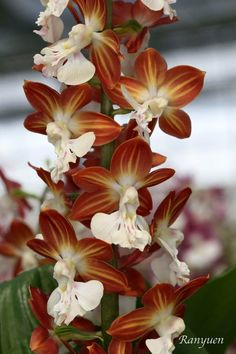 Orchidea - Newly-bloomed Spring Calanthe