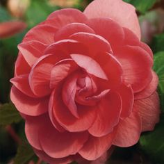 add24a2607f80 Illumination Pink Begonia Pkt of 25 pelleted seeds $3.95, shade Lily Bulbs, Tiny  Flowers