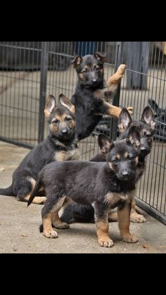 GSD Puppies...Adorable