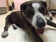 NENA – A1081659  ***NEEDS FOLLOW-UP VET CARE – CONTACT A NEW HOPE RESCUE TO FOSTER/ADOPT NOW***  FEMALE, BR BRINDLE / WHITE, PIT BULL / COLLIE SMOOTH, 12 yrs STRAY – RESCUEONLY, NO HOLD Reason STRAY Intake condition GERIATRIC Intake Date 07/17/2016, From NY 10308, DueOut Date 07/18/2016,