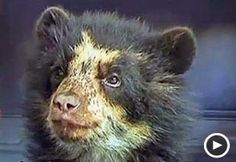 This endangered spectacled bear had a brush with poachers before finding safe haven at a zoo.
