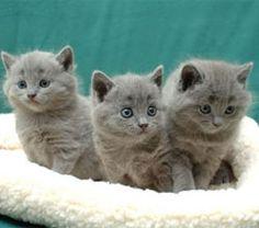 Three Chartreux Fluffs