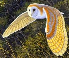 Barn Owl - Nonnetjies uil | Birds of South Africa | Pinterest | A ...
