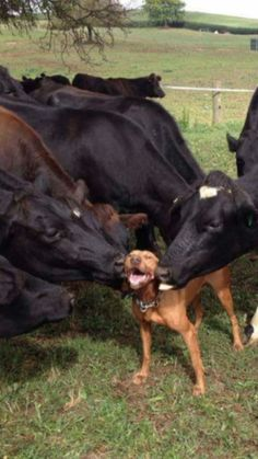 Cattle dog happily receiving the attentions of some friends in the herd