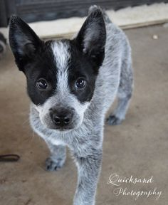 quicksandphotography | PHOTOS. Ryder <3 Australian cattle dog puppy,acd blue heeler.