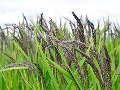 緑米は、全国でも生産量が少なく、白米の1/2程度しか収穫できないことから幻の米と言われている貴重なお米です。玄米の皮部分が緑色(薄緑色)をしていて、その緑色の皮部分に抗酸化作用などの働きがあるとされるクロロフィル(緑黄色野菜に含まれている成分)が含まれているほか、亜鉛やマグネシウム、繊維質も豊富で血液浄化や精神安定にも効果があると言われています。緑米という名前ですが、稲穂は黒いんですよ。  また、従来のもち米よりも粘りが強く、甘みがあるのが特徴。