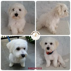 Adorable puppy Charlie, several months young, Maltese cross. Puppy First Full Groom. Website: https://rattytoregal.wixsite.com/rattytoregal Facebook: https://www.facebook.com/rattytoregal/
