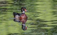 Colors of Nature - A male Wood Duck catches a small amount of light under the Bald Cypress trees in the Florida swamp.