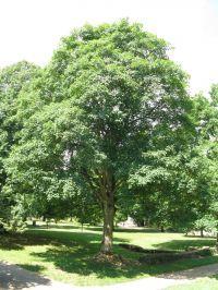 Habitus/ Gestalt / Äußere Form von Acer pseudoplatanus