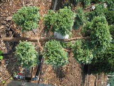small evergreen trees