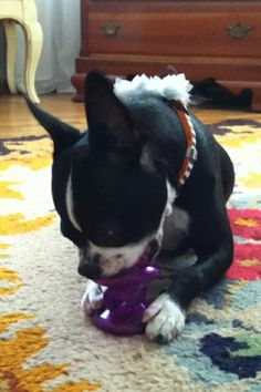 My sweet girl, Figgy, with her treat-dispensing toy. A great way to entertain your pet and have giggles watching! I always supervise, to be sure she doesn't swallow part of it.