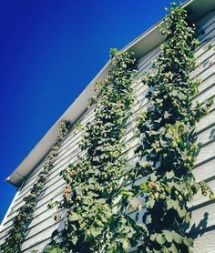 How to Grow Hops At Home - American Homebrewers Association