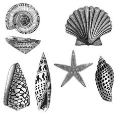 SEA SHELLS Victorian Nature Illustrations Black & White Line Art This is a digital collage that you can download to use in creating greeting cards, scrapbooking pages, mixed media, collage, tags, fabric arts and much more. You are purchasing a downloadable digital sheet. THIS IS AN INSTANT DOWNLOAD:    After purchasing, you'll see a link to the Downloads page. Here, you can download all the files associated with this item. Downloads are available once your payment is confirmed. If you pai...