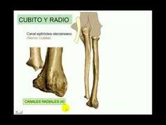 Osteologia 4 Cubito y Radio