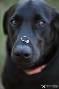 Brutus won't be our ring-bearer, but would love a picture like this!