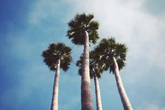 Palm trees  I have a thing for trees