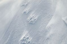 Officially, no one was able to approach the White Wolf for 25 years. Vincent Munier, wildlife photographer, spent a month alone in the extreme Artic Tundra at the very north of Canada to photograph. Munier, White Wolf, Wild Nature, Wildlife, Ice Age, Arctic, Trail, Photographs, Outdoors