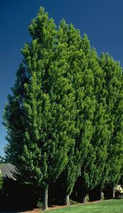 Love these trees!  Lombardy Poplar Tree...sound like the ocean when its breezy.