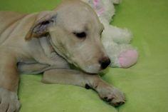 Adopt Buster! [via labradors.com]