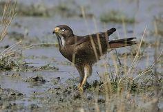 White-eyed Buzzard (Butastur teesa) Resident | the Internet Bird Collection | HBW Alive