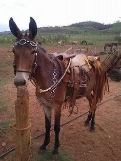 A Mule, and a Wood Post ... a match made in Heaven !!