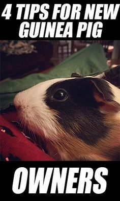 All About Guinea Pigs: 4 Tips for New Owners