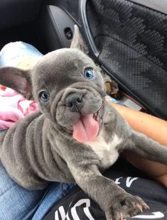 Kittens And Puppies, Cute Dogs And Puppies, Baby Puppies, Corgi Puppies, Doggies, Teacup French Bulldogs, Baby French Bulldog, English Bulldogs, Sweet Dogs