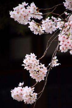 京都の桜の名所の墨染寺の見事な墨染桜(すみぞめ桜)