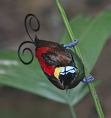 Google Image Result for http://upload.wikimedia.org/wikipedia/commons/thumb/1/15/Wilson%27s_Bird_of_Paradise.jpg/220px-Wilson%27s_Bird_of_Paradise.jpg