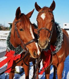 The mandarin oranges wish you a Merry Christmas 🎄 TAP the link in our bio👇 @justhorsecenter to see original #horse collection! 🐎🎁 📷 Via:… Horse Couple, Mandarin Oranges, Merry Christmas, Horses, The Originals, Link, Collection, Instagram, Merry Little Christmas