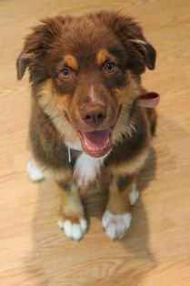 13 Week Old Australian Shepard in puppy classes at Dog-Gone Capable LLC http://www.doggonecapable.com/